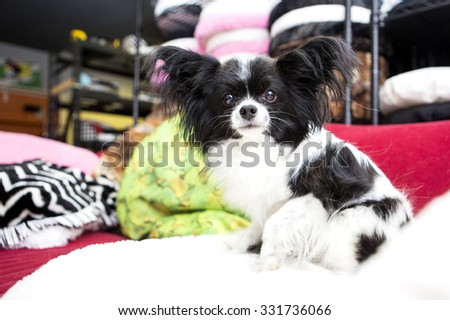 Pomeranian dog in a shop