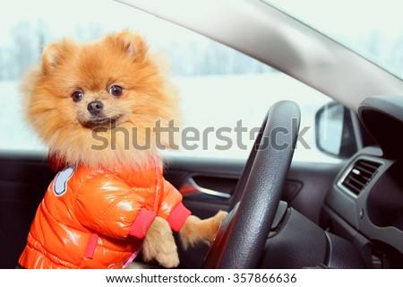 Pomeranian dog in car. Cute dog in car. - stock photo