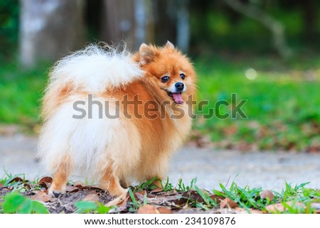 Pomeranian dog in the park looked back - stock photo