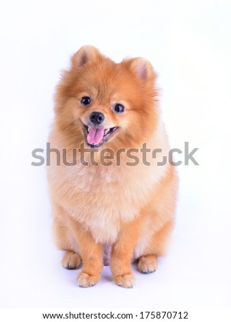 pomeranian dog isolated on white background - stock photo
