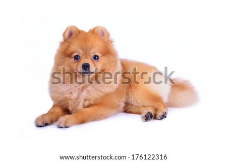 pomeranian dog isolated on white background - stock photo