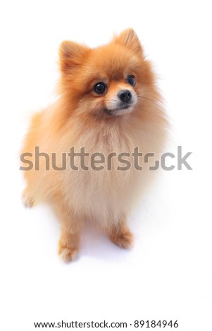 pomeranian dog isolated white background - stock photo