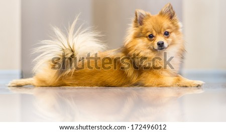 Pomeranian dog lies. Spitz. - stock photo