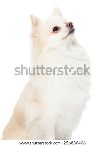 Pomeranian dog look up - stock photo