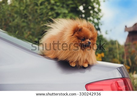 Pomeranian dog on a car - stock photo