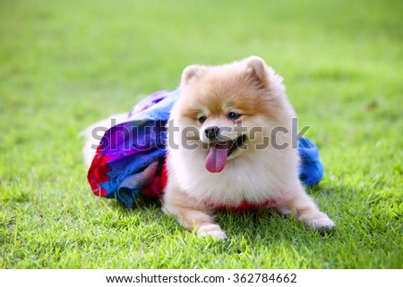 Pomeranian dog on the lawn it wear clothes for dog and clothes of pom has ping and blue color.pom closed its eyes. - stock photo