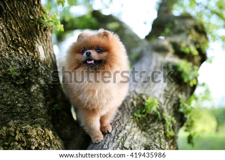 Pomeranian dog on tree. Beautiful dog. Spitz - stock photo