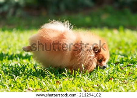 Pomeranian dog peeing on green grass in the garden - stock photo