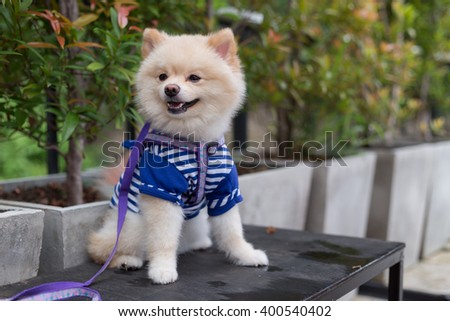 pomeranian dog puppy cute cute pet happy friendly - stock photo