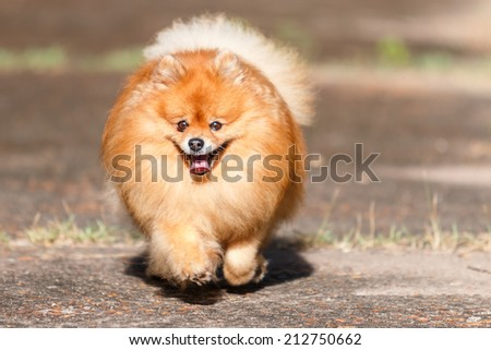 Pomeranian dog running on the road in the garden - stock photo