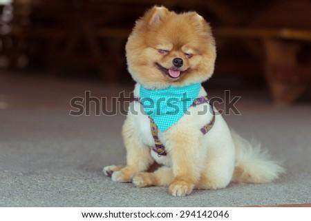pomeranian dog sitting cute pets happy smile - stock photo