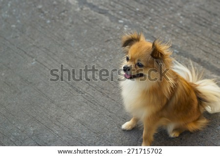 Pomeranian dog sitting on street - stock photo