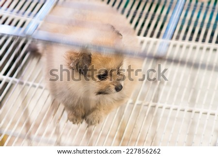Pomeranian dog waiting for owner to come - stock photo