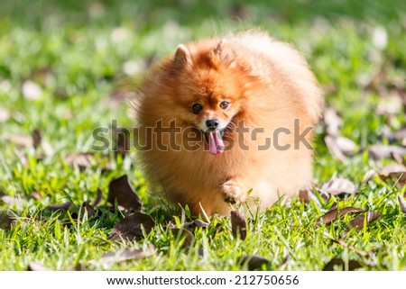 Pomeranian dog walking on green grass in the garden - stock photo