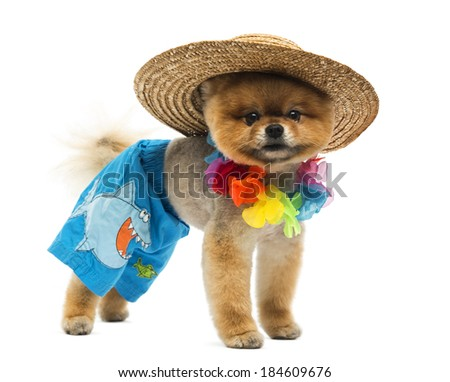 Pomeranian dog wearing short, Hawaiian lei, hat
