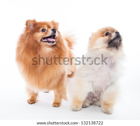 Pomeranian dogs - stock photo