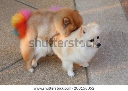 Pomeranian dogs mating - stock photo