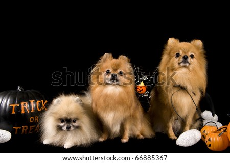 pomeranian dogs on a black background on a halloween themed set with copy space - stock photo