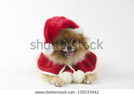 Pomeranian dressed in Christmas outfit with a handmade knitted poncho - stock photo