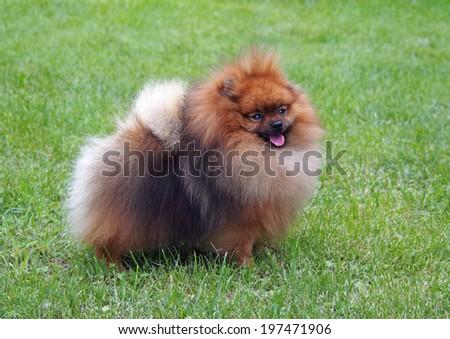 Pomeranian, Dwarf Spitz on a natural green background  - stock photo