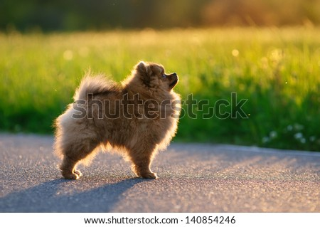 Pomeranian for a walk - stock photo