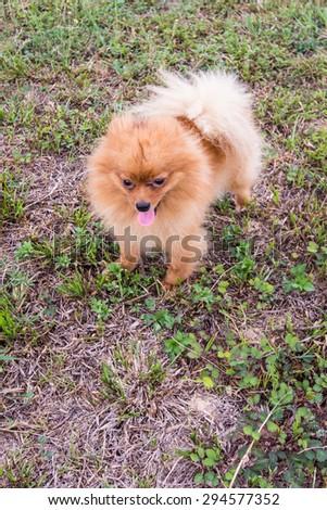 pomeranian in lawn - stock photo