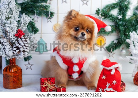 Pomeranian in santa clothing on a background of Christmas decorations