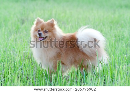 Pomeranian in the grass  - stock photo