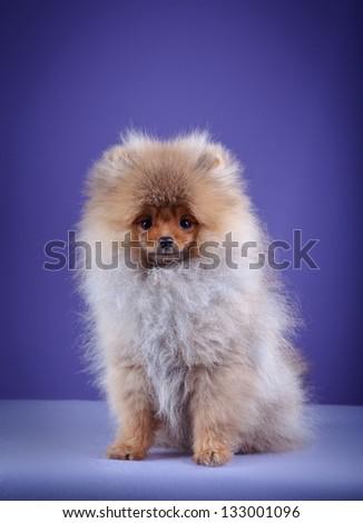 Pomeranian in the studio - stock photo