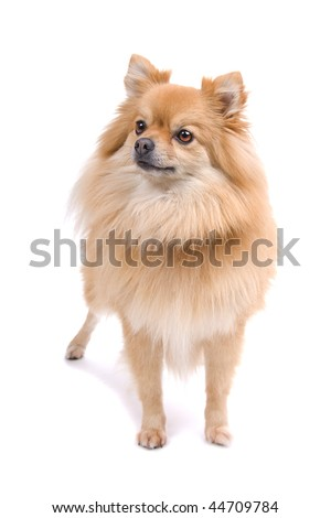 pomeranian, keeshond isolated on a white background