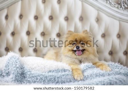 Pomeranian lying on bed horizontal - stock photo