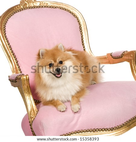 Pomeranian (10 months) in front of white background - stock photo