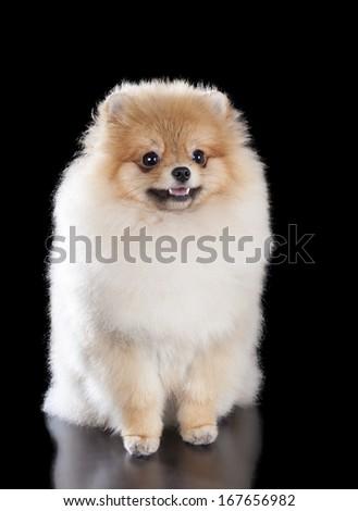 Pomeranian on a black background in studio - stock photo