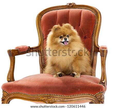 Pomeranian on a chair - studio - stock photo
