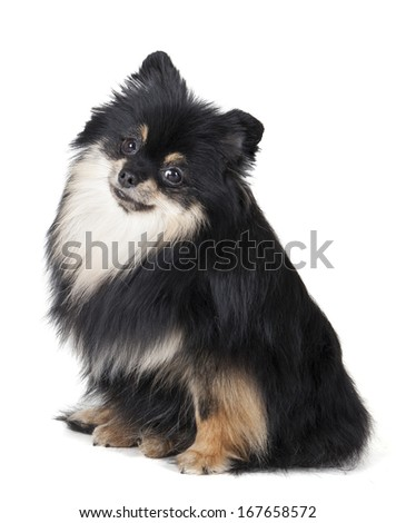 Pomeranian on a white background - stock photo