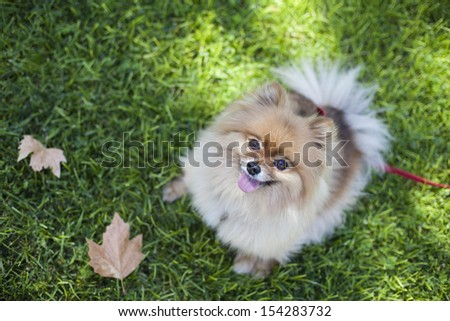 Pomeranian playing at the park with autumn leaves on the side - stock photo