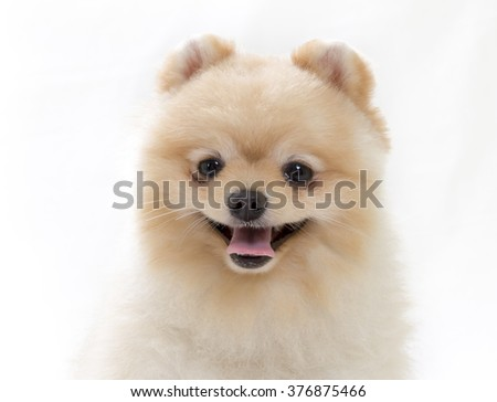 Pomeranian portrait. A cute puppy is sitting in a photoshoot. Image taken in a studio. The dog breed is The Pomeranian often known as a Pom or Pom Pom. - stock photo