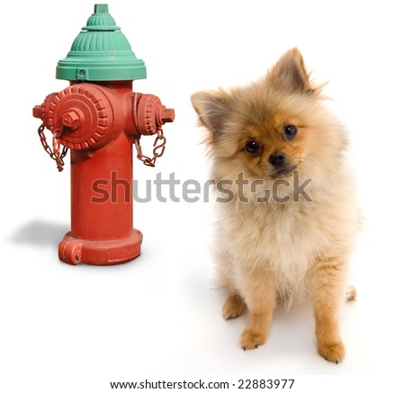 Pomeranian posing next to a fire hydrant on a white background - stock photo
