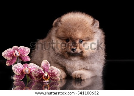 pomeranian puppy at black background with pink orchid flowers