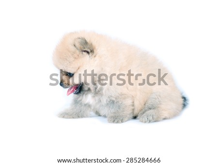 Pomeranian puppy dog on white background. Portrait of Pomeranian dog. - stock photo