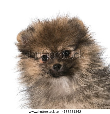 pomeranian puppy head portrait isolated on white background - 3 months old - stock photo
