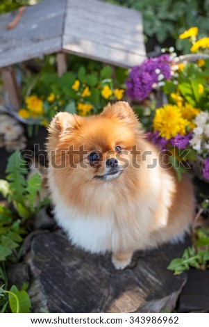 Pomeranian puppy in a basket with flowers on a background of spring garden