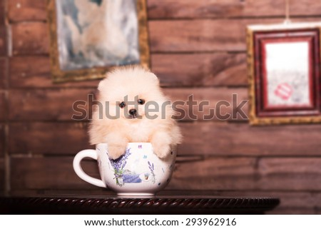 Pomeranian puppy in the cup - stock photo