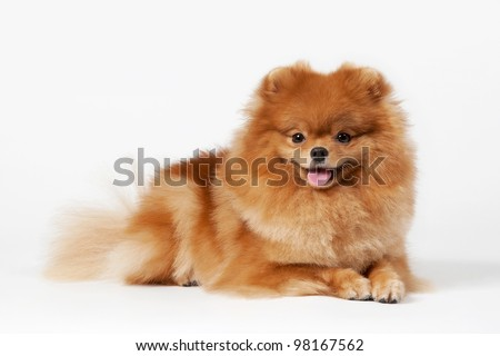 Pomeranian puppy on white gradient background - stock photo