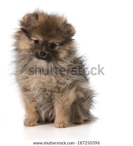 pomeranian puppy sitting looking at viewer isolated on white background
