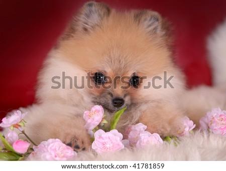 Pomeranian puppy with flowers - stock photo