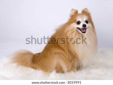 Pomeranian sitting down - stock photo