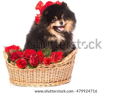 Pomeranian spitz dog in the basket with flowers on white background