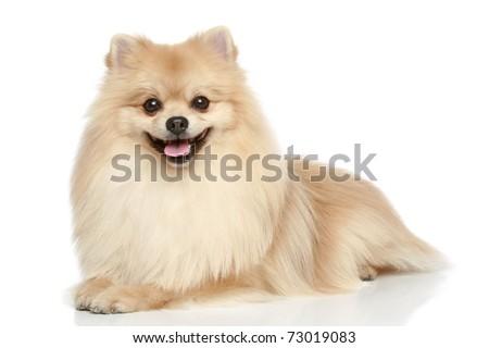 Pomeranian Spitz dog lying on a white background - stock photo