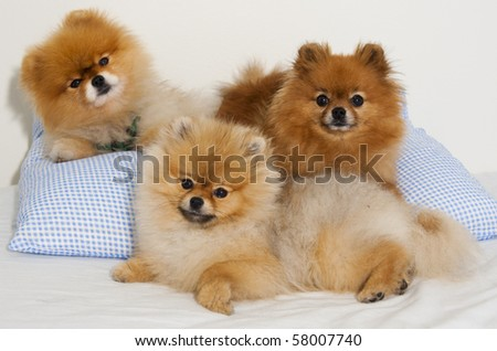 Pomeranian spitz dogs in a family group shot - stock photo